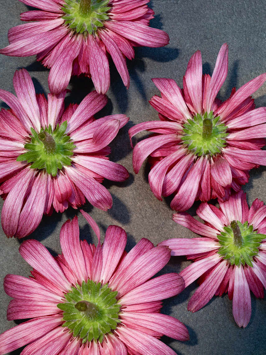 13_Test_Flowers_Aster_025_New