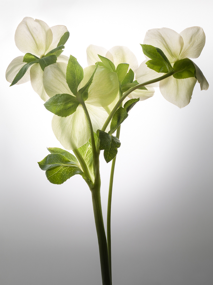 14_Test_Helleborus_044_Focus_Smart